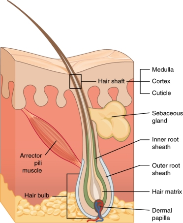 Hair Anatomy, Shaft, follicle, bulb, medulla, cortex, sebaceous gland, root sheath, hair matrix, dermal papilla