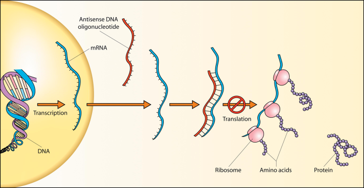 DNA, transcription, mRNA, protein translation